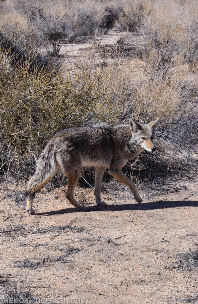 A coyote chases a bobcat in Joshua Tree National Park.