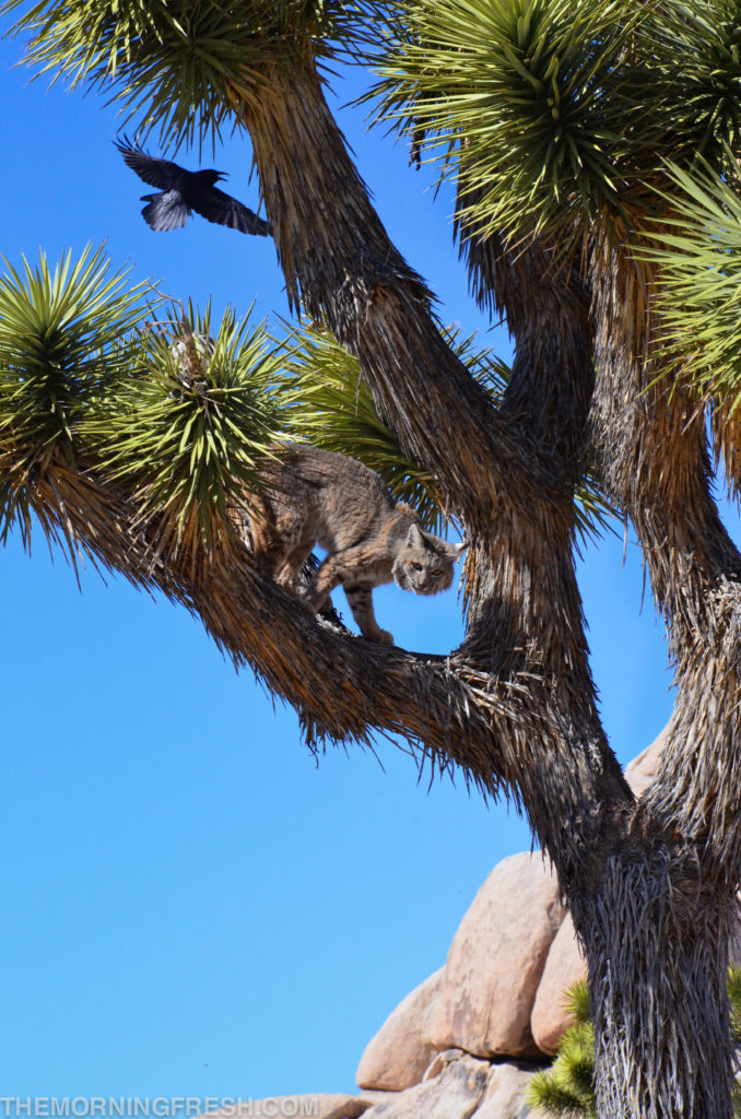 A bobcat seeks refuge in a joshua tree as a raven swoops overhead at Joshua Tree National Park in California.
