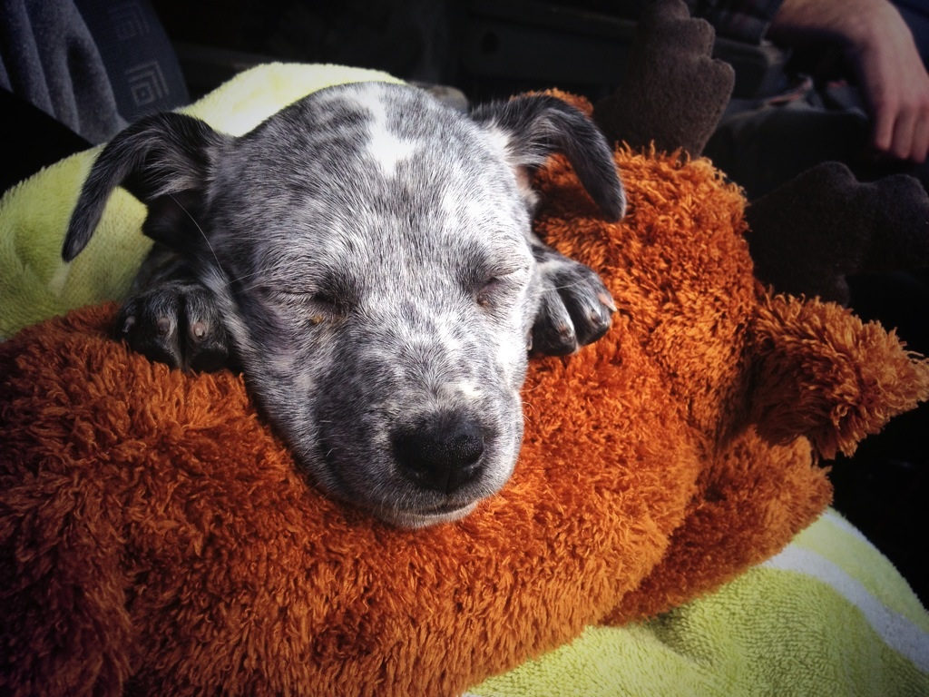 Amble, our blue heeler puppy, snoozes on the drive to Florida.