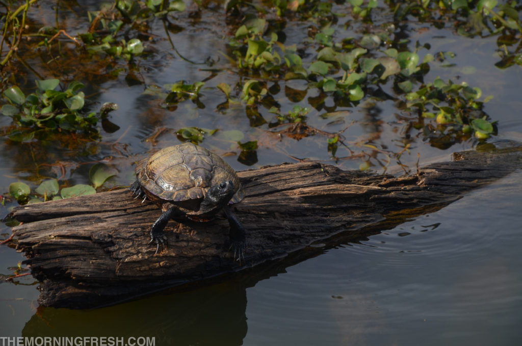 One of the many resident turtles that call Lake Leon home at Tom Brown Park in Tallahassee.
